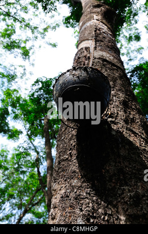Tapping rubber from a rubber tree in a Kerala rubber plantation showing the peeled bark and latex collecting drip - Stock Photo