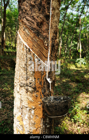 Tapping rubber from a rubber tree ina  Kerala rubber plantation showing the peeled bark and latex collecting drip - Stock Photo