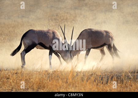 Two male gemsbok antelopes (Oryx gazella) fighting for territory, Kgalagadi Transfrontier Park, South Africa - Stock Photo