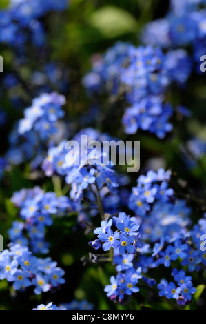 myosotis sylvatica blue ball forget me nots blue purple flowers flowering blooms closeups close-ups ups spring selective - Stock Photo
