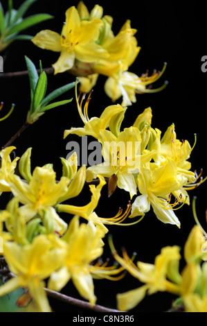 rhododendron luteum yellow flowers blooms blossoms closeup selective focus  shrubs plant portraits - Stock Photo