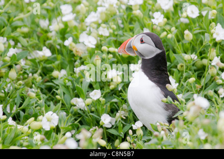 Puffin (Fratercula arctica) amongst Sea Campion - Stock Photo