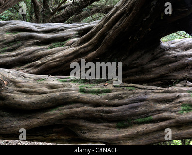 ancient taxus baccata yew tree old twisted warped bent trunk smooth bark evergreen branches trunk shady shade - Stock Photo