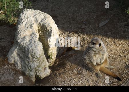 Meerkat sitting next  to the rock at London Zoo, UK - Stock Photo