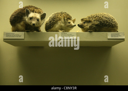Three stuffed hedgehogs in the Zoological Museum of Moscow State University, Russia. - Stock Photo