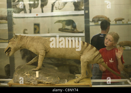 Stuffed Tasmanian tiger (Thylacinus cynocephalus) seen at the Zoological Museum in St Petersburg, Russia. - Stock Photo
