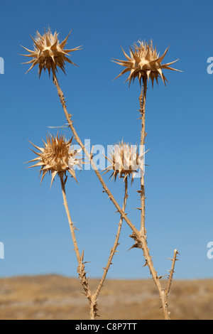 Dried thistles and a blue sky - Stock Photo