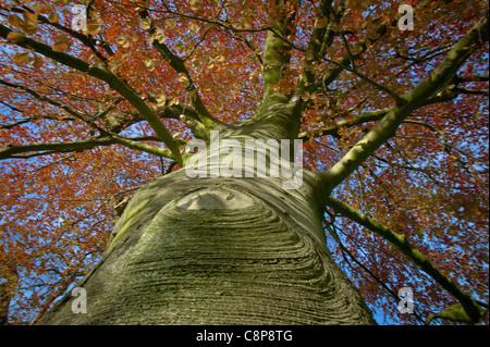 The Tree and its Neighbours, Parc de Bagatelle the Bois de Boulogne A Purple Beech Spring - Stock Photo