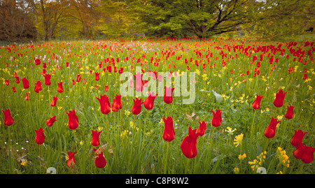 The Tree and its Neighbours, Spring Park Bagatelle , Tulip - Stock Photo