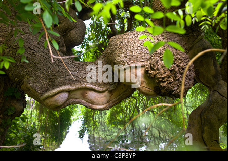 The Tree and its Neighbours, Sophora japonica Pendula Bagatelle Park Spring - Stock Photo