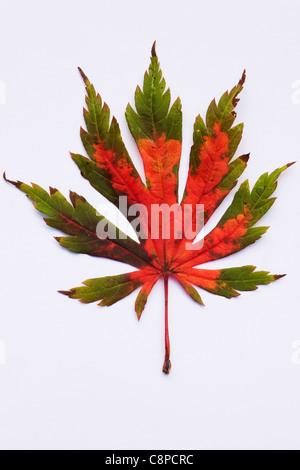 Acer japonicum 'Ataryi'.  Single leaf isolated on a white background. - Stock Photo