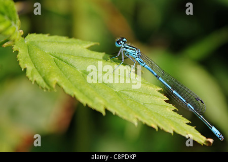 Blue dragonfly sitting on leaf - Stock Photo