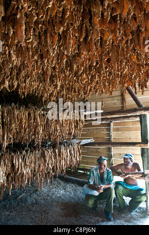 Tobacco leaves drying in barn with farmers, Vinales, Cuba - Stock Photo