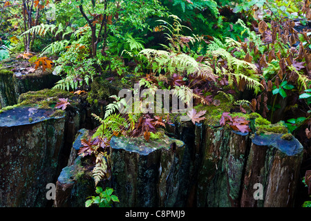 A stump of a logged Western Red Cedar now host to new growth, British Columbia, Canada - Stock Photo