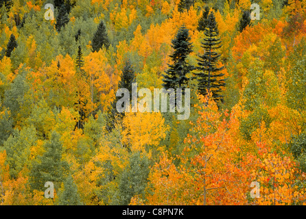 Fall mix of quaking aspen (Populus tremuloides) and conifers, near Lime Creek, San Juan National Forest, southwest - Stock Photo
