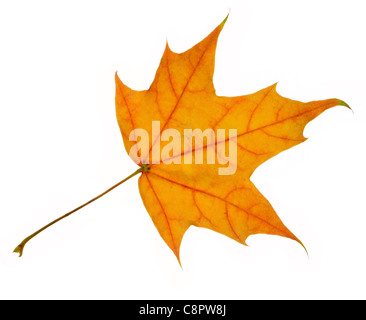 An autumn maple leaf, isolated on white - Stock Photo