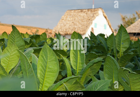 PINAR DEL RIO: TOBACCO LEAVES IN FIELD IN THE VINALES VALLEY - Stock Photo