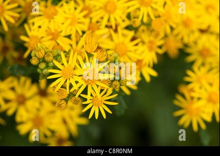 Common Ragwort, Senecio jacobaea, in flower - Stock Photo