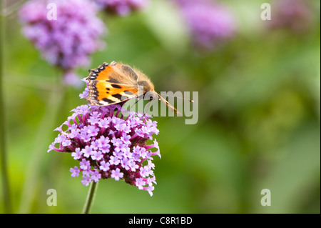 Small Tortoiseshell Butterfly, Aglais urticae, feeding on Verbena bonariensis - Stock Photo