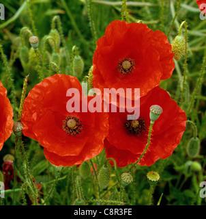 Corn poppy (Papaver rhoeas) flowers - Stock Photo