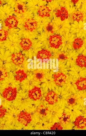Group of Rudbeckia laciniata and Lantana camara - flower heads - background - floral pattern - Stock Photo