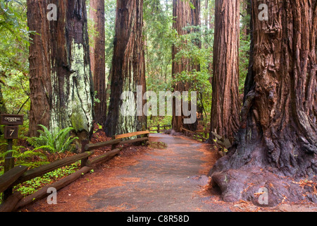 CA01000-00...CALIFORNIA - Trail through Cathedral Grove in the redwood forest of Muir Woods National Monument. - Stock Photo