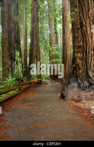 CA01002-00...CALIFORNIA - Trail through Cathedral Grove in the redwood forest of Muir Woods National Monument. - Stock Photo