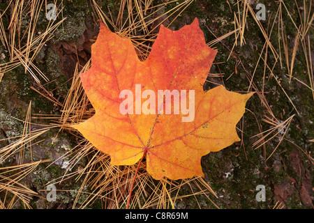 A fallen maple leaf amidst pine needles - Itasca State Park, Minnesota. - Stock Photo