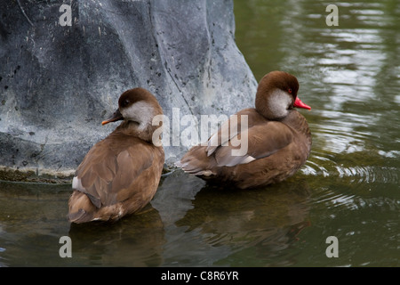 Red-crested pochard (Netta rufina) in Queen Mary's Gardens in Regent's Park, London - Stock Photo