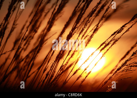 Low afternoon sun shining through grass in late summer early autumn - Stock Photo