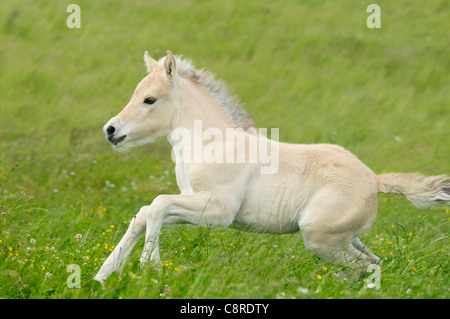 One week old Norwegian horse foal galloping in the field - Stock Photo