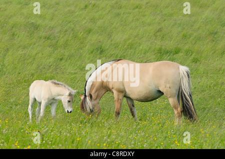One week Norwegian horse foal and her broodmare - Stock Photo