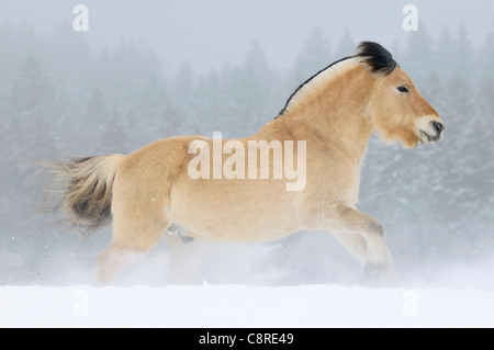Norwegian horse galloping in snow - Stock Photo
