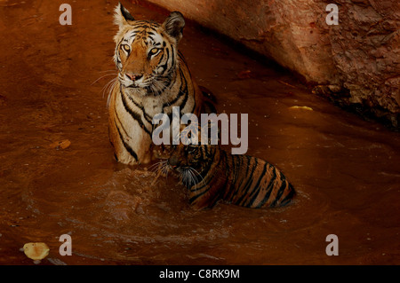 A tigress and cub in water - Stock Photo