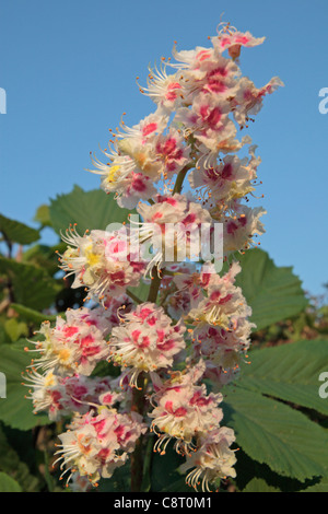 Horse chestnut flowers and leaves (Aesculus hippocastanum), in the Chilterns, England, UK. - Stock Photo