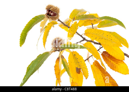 branch of chestnut with nut and yellow leaves - Stock Photo