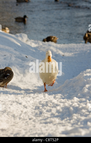 A white Pekin duck running up a snowy path in Linton North Yorkshire on a winter day - Stock Photo