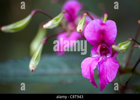 Himalayan Balsam (Impatiens glandulifera) with flower and seed pods.