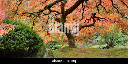 Old Japanese Maple Tree at Public Garden in Autumn Panorama - Stock Photo