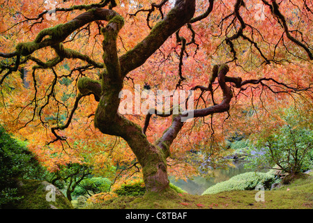 Old Japanese Maple Tree at Japanese Garden in Autumn - Stock Photo