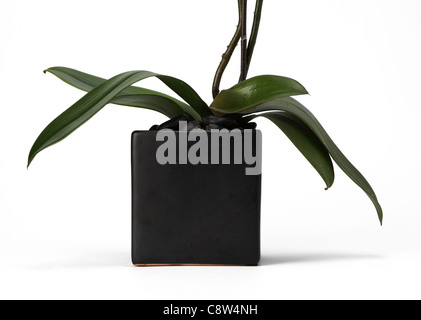 The bottom of an orchid plant in glass vase. - Stock Photo