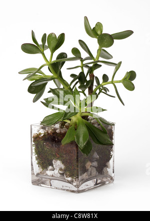A small plant growing in a glass vase. Jade plant [Crassula ovata] - Stock Photo