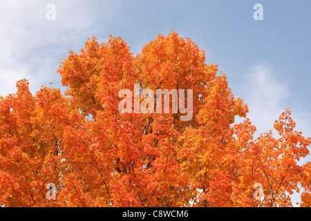 Maple tree leaves turning orange in the fall. - Stock Photo