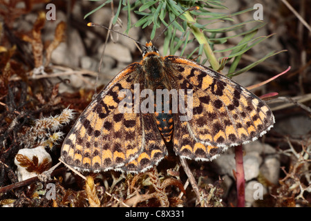 Female Spotted Fritillary butterfly (Melitaea didyma). On the Causse de Gramat, Lot region, France. - Stock Photo