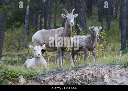 Bighorn Sheep family, Banff National park, Alberta, Canada - Stock Photo