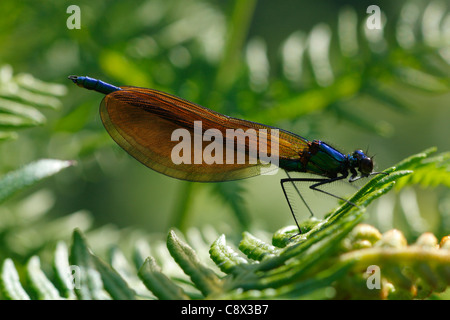 Immature male Beautiful Demoiselle (Calopteryx virgo) resting on bracken. Brittany, France. May. - Stock Photo