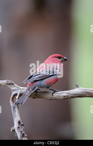 Pine Grosbeak (Pinicola enucleator) adult male on perch, Finland - Stock Photo