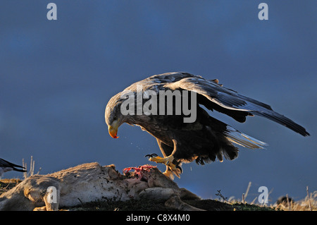 White-tailed Eagle (Haliaeetus albicilla) feeding on deer carcass, Norway - Stock Photo