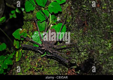 Tailless Whip-Scorpion (Amblypygida) on tree trunk, Yasuni National Park, Ecuador - Stock Photo