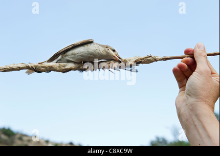 Red-backed Shrike Lanius collurio illegally trapped on limestick in olive grove in autumn Cyprus - Stock Photo